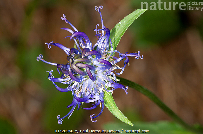 Round-headed rampion (Phyteuma orbiculare) in flower, in ancient pine and mixed woodland, Val di Vallesinella near Madonna di Campiglio, Brenta Dolomites, Italy, July  ,  BELLFLOWER,BLUE,CAMPANULACEAE,DICOTYLEDONS,EUROPE,FLOWERS,ITALY,PLANTS,WILD FLOWERS,WILDFLOWERS  ,  Paul Harcourt Davies