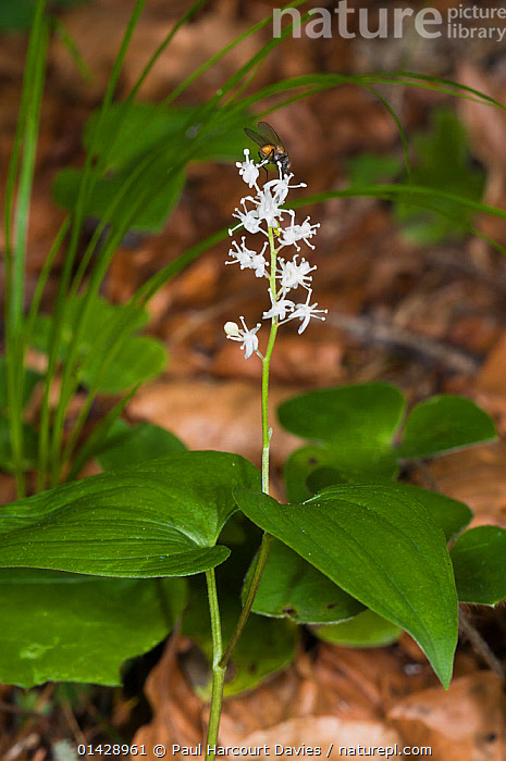 May Lily (Maianthemum bifolium) in flower, in ancient pine and mixed woodland, Val di Vallesinella near Madonna di Campiglio, Brenta Dolomites, Italy, July  ,  EUROPE,FLOWERS,ITALY,LILIACEAE,MONOCOTYLEDONS,PLANTS,VERTICAL,WHITE,WILD FLOWERS,WILDFLOWERS  ,  Paul Harcourt Davies