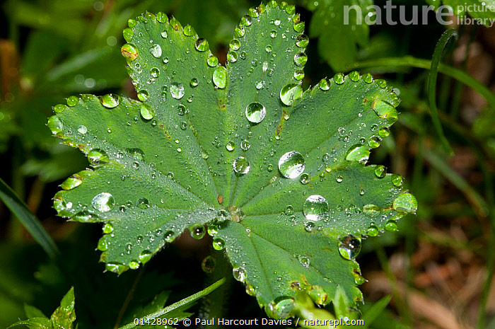 Lady's Mantle (Alchemilla vulgaris) leaf with dew drops, in ancient pine and mixed woodland, Val di Vallesinella near Madonna di Campiglio, Brenta Dolomites, Italy, July  ,  DEW,DICOTYLEDONS,EUROPE,FLOWERS,ITALY,LEAVES,PLANTS,ROSACEAE,,Beauty in nature,,,beauty in nature,  ,  Paul Harcourt Davies