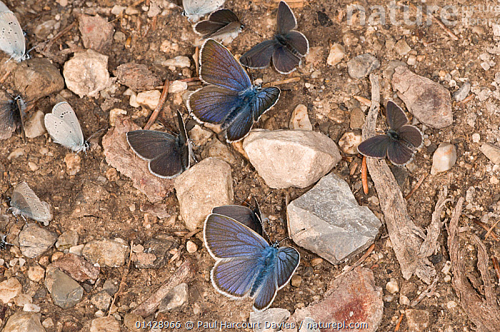 Small blue butterflies (Cupido minimus) resting on ground, Vallesiana, Madonna di Campiglio, Italy, July  ,  ARTHROPODS,BLUE,BUTTERFLIES,EUROPE,GROUPS,INSECTS,INVERTEBRATES,ITALY,LEPIDOPTERA,LITTLE BLUE  ,  Paul Harcourt Davies