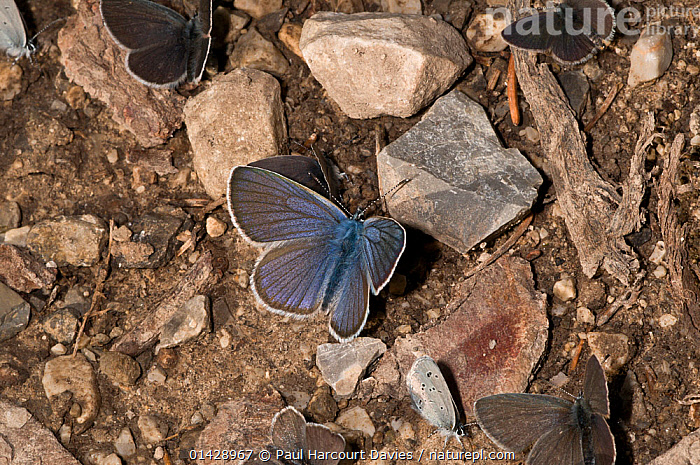 Small blue butterfly (Cupido minimus) resting on the ground, Vallesiana, Madonna di Campiglio, Italy, July  ,  ARTHROPODS,BLUE,BUTTERFLIES,EUROPE,GROUPS,INSECTS,INVERTEBRATES,ITALY,LEPIDOPTERA,LITTLE BLUE  ,  Paul Harcourt Davies