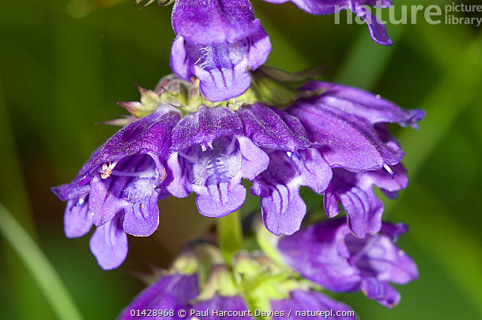 Dragonmouth (Horminium pyrenaicum) flower,  in ancient pine and mixed woodland, Val di Vallesinella near Madonna di Campiglio, Brenta Dolomites, Italy, July  ,  DICOTYLEDONS,EUROPE,FLOWERS,ITALY,LAMIACEAE,PLANTS,PURPLE  ,  Paul Harcourt Davies