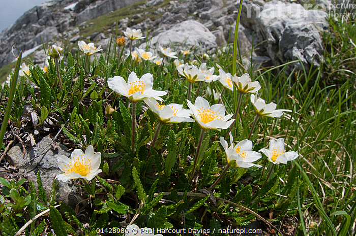 Mountain Avens (Dryas octopetala) in flower, Monte Spinale, alpine zone, Madonna di Campiglio, Brenta Dolomites, Italy, July  ,  ALPINE,DICOTYLEDONS,EUROPE,FLOWERS,ITALY,PLANTS,ROSACEAE,WHITE  ,  Paul Harcourt Davies
