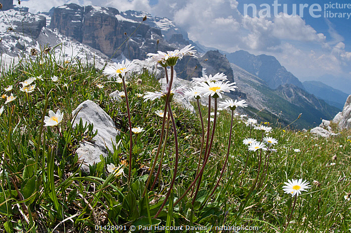 Daisy (Bellis perennis) in flower, Monte Spinale, alpine zone, Madonna di Campiglio, Brenta Dolomites, Italy, July 2010  ,  ALPINE,ASTERACEAE,COMPOSITAE,DICOTYLEDONS,EUROPE,FLOWERS,HABITAT,ITALY,LANDSCAPES,MOUNTAINS,PLANTS,WHITE  ,  Paul Harcourt Davies
