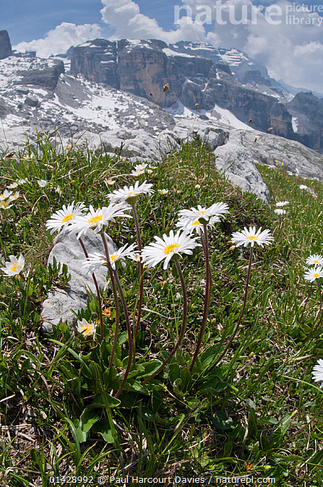 Daisy (Bellis perennis) in flower, Mount Spinale, alpine zone, Madonna di Campiglio, Brenta Dolomites, Italy, July  ,  ALPINE,ASTERACEAE,CLOUDS,COMPOSITAE,DICOTYLEDONS,EUROPE,FLOWERS,HABITAT,ITALY,LANDSCAPE,MOUNTAINS,PLANTS,VERTICAL,WHITE,Weather  ,  Paul Harcourt Davies