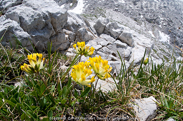 Kidney Vetch (Anthyllis vulneraria) in flower, Monte Spinale, alpine zone, Madonna di Campiglio, Brenta Dolomites, Italy, July  ,  ALPINE,DICOTYLEDONS,EUROPE,FABACEAE,FLOWERS,HABITAT,ITALY,LEGUME,PLANTS,YELLOW  ,  Paul Harcourt Davies