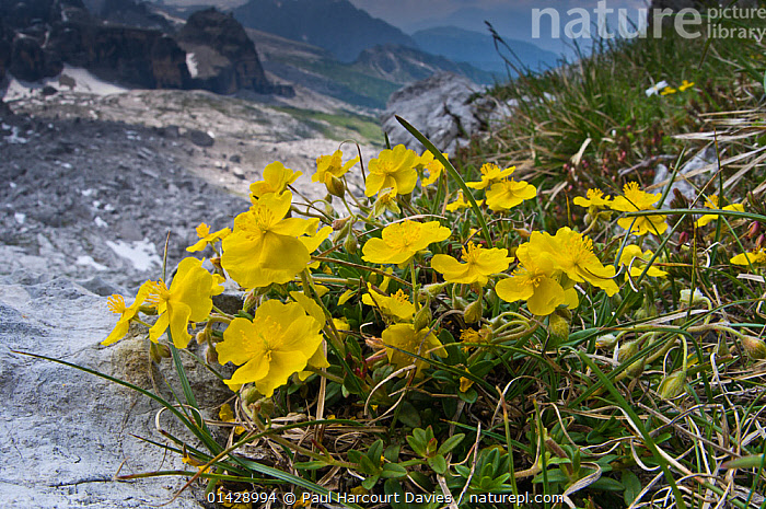 Common rockrose (Helianthemum nummularium) in flower, Monte Spinale, alpine zone, Madonna di Campiglio, Brenta Dolomites, Italy, July  ,  ALPINE,CISTACEAE,DICOTYLEDONS,EUROPE,FLOWERS,ITALY,PLANTS,YELLOW  ,  Paul Harcourt Davies
