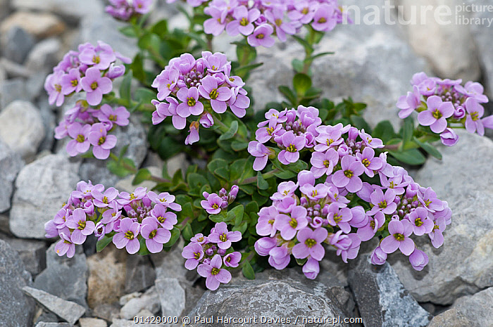 Round-leaved pennycress (Thlaspi rotundifolium) in flower, Monte Spinale, alpine zone, Madonna di Campiglio, Brenta Dolomites, Italy, July  ,  ALPINE,BRASSICACEAE,DICOTYLEDONS,EUROPE,FLOWERS,ITALY,PLANTS,PURPLE  ,  Paul Harcourt Davies