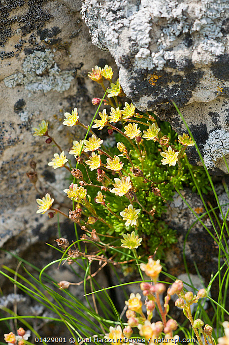 Musky Saxifrage (Saxifraga moschata) in flower, Monte Spinale, alpine zone, Madonna di Campiglio, Brenta Dolomites, Italy, July  ,  ALPINE,DICOTYLEDONS,EUROPE,FLOWERS,ITALY,PLANTS,SAXIFRAGACEAE,VERTICAL,YELLOW  ,  Paul Harcourt Davies