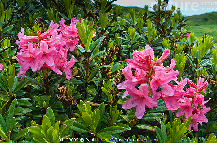Alpenrose (Rhododendron ferrugineum) in flower, pink, Monte Spinale, alpine zone, Madonna di Campiglio, Brenta Dolomites, Italy, July  ,  ALPINE,DICOTYLEDONS,ERICACEAE,EUROPE,FLOWERS,ITALY,PINK,PLANTS,RHODODENDRON  ,  Paul Harcourt Davies