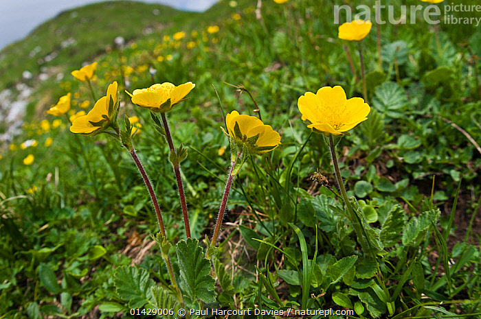 Creeping Avens (Geum reptans) in flower, Monte Spinale, alpine zone, Madonna di Campiglio, Brenta Dolomites, Italy, July  ,  ALPINE,DICOTYLEDONS,EUROPE,FLOWERS,ITALY,PLANTS,ROSACEAE,YELLOW  ,  Paul Harcourt Davies
