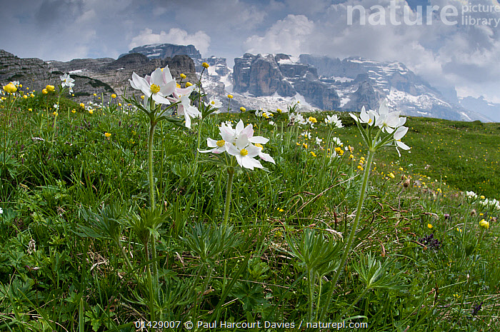 Narcissus-flowered Anemone (Anemone narcissiflora) in flower, Monte Spinale, alpine zone, Madonna di Campiglio, Brenta Dolomites, Italy, July  ,  ALPINE,DICOTYLEDONS,EUROPE,FLOWERS,ITALY,PLANTS,RANUNCULACEAE,WHITE  ,  Paul Harcourt Davies
