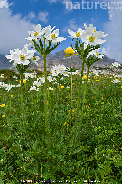 Narcissus-flowered Anemone (Anemone narcissiflora) in flower, Monte Spinale, alpine zone, Madonna di Campiglio, Brenta Dolomites, Italy, July  ,  ALPINE,DICOTYLEDONS,EUROPE,FLOWERS,ITALY,PLANTS,RANUNCULACEAE,VERTICAL,WHITE  ,  Paul Harcourt Davies