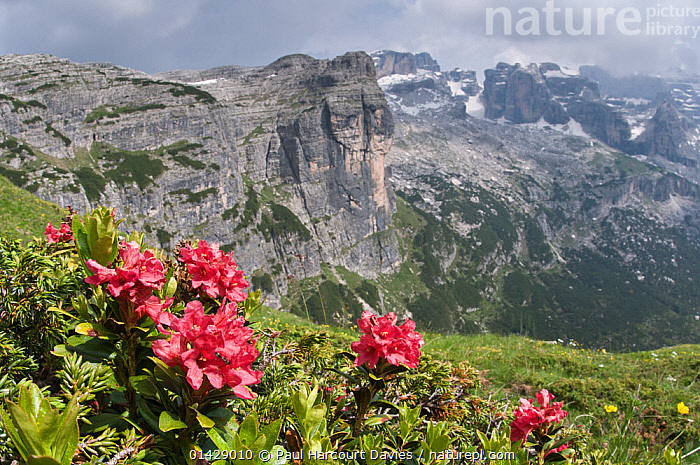 Alpenrose (Rhododendron ferrugineum) in flower, Monte Spinale, alpine zone, Madonna di Campiglio, Brenta Dolomites, Italy, July 2010  ,  ALPINE,DICOTYLEDONS,ERICACEAE,EUROPE,FLOWERS,HABITAT,ITALY,LANDSCAPES,MOUNTAINS,PLANTS,RED  ,  Paul Harcourt Davies