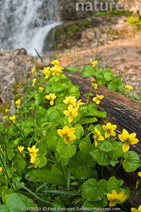 Twin-flowered Violet (Viola biflora) in flower, Monte Spinale, alpine zone, Madonna di Campiglio, Brenta Dolomites, Italy, July  ,  ALPINE,DICOTYLEDONS,EUROPE,FLOWERS,HABITAT,ITALY,PLANTS,STREAMS,VERTICAL,VIOLACEAE,WATERFALLS,YELLOW  ,  Paul Harcourt Davies