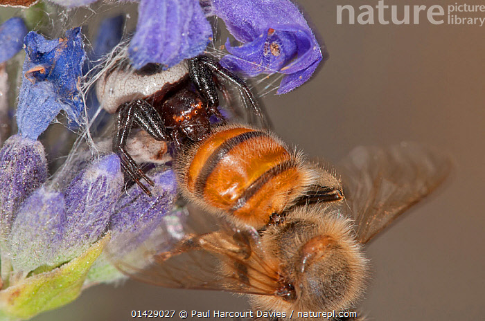 Crab Spider (Synema globosum) with bee prey, Monte Ramano, Italy, July  ,  ARACHNIDA,ARACHNIDS,BEES,CRAB SPIDERS,EUROPE,FEEDING,FLOWERS,HUNTING,HYMENOPTERA,INSECTS,INVERTEBRATES,ITALY,PREDATION,THOMASIDAE,Behaviour  ,  Paul Harcourt Davies