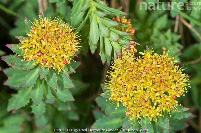 Roseroot (Rhodiola rosea) in flower, Monte Spinale, alpine zone, Madonna di Campiglio, Brenta Dolomites, Italy, July  ,  ALPINE,CRASSULACEAE,DICOTYLEDONS,EUROPE,FLOWERS,ITALY,PLANTS,SUCCULENT,YELLOW  ,  Paul Harcourt Davies