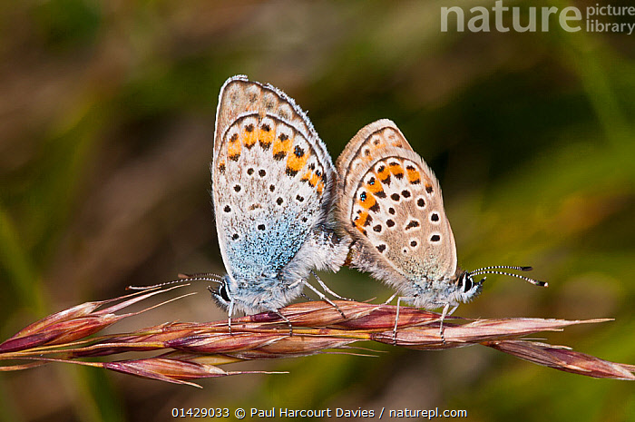 Silver-studded blues (Plebejus argus) mating, Campo Imperatore, Gran Sasso, Appennines, Abruzzo, Italy, July  ,  ALPINE,ARTHROPODS,BUTTERFLIES,COPULATION,EUROPE,FEMALES,INSECTS,INVERTEBRATES,ITALY,LEPIDOPTERA,LYCAENIDAE,MALE FEMALE PAIR,MALES,MATING BEHAVIOUR,REPRODUCTION,Apennines,Appennines,  ,  Paul Harcourt Davies