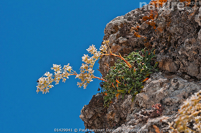 Thick-leaved saxifrage (Saxifraga callosa) in flower,  Canyon on Campo Imperatore, Gran Sasso, Appennines, Abruzzo, Italy, July  ,  ALPINE,DICOTYLEDONS,EUROPE,FLOWERS,ITALY,PLANTS,SAXIFRAGACEAE,WHITE,Apennines,Appennines,  ,  Paul Harcourt Davies