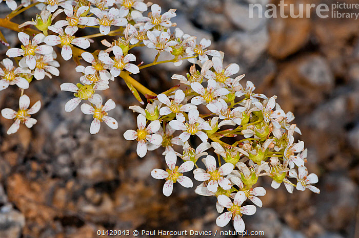 Thick-leaved saxifrage (Saxifraga callosa) in flower, Canyon on Campo Imperatore, Gran Sasso, Appennines, Abruzzo, Italy  ,  ALPINE,DICOTYLEDONS,EUROPE,FLOWERS,ITALY,PLANTS,SAXIFRAGACEAE,WHITE,Apennines,Appennines,  ,  Paul Harcourt Davies