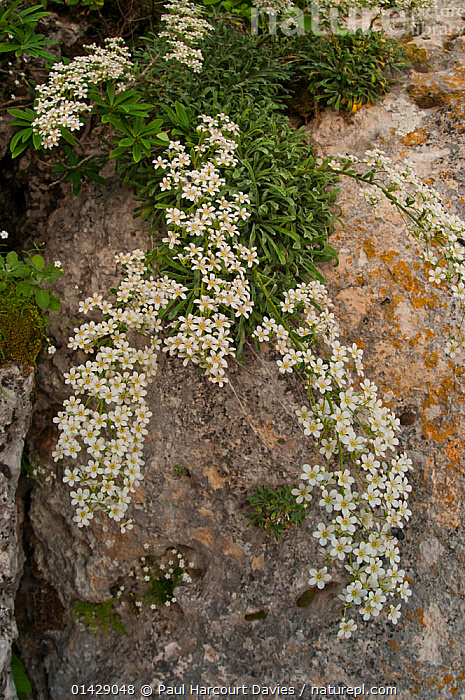 Thick-leaved saxifrage (Saxifraga callosa) in flower in a canyon on Campo Imperatore, Gran Sasso, Appennines, Abruzzo, Italy  ,  ALPINE,DICOTYLEDONS,EUROPE,FLOWERS,ITALY,PLANTS,SAXIFRAGACEAE,VERTICAL,WHITE,Apennines,Appennines,  ,  Paul Harcourt Davies