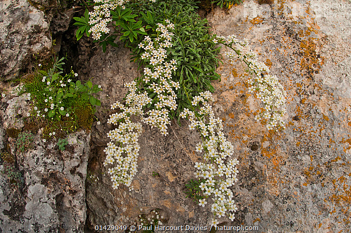 Thick-leaved saxifrage (Saxifraga callosa) in flower in canyon on Campo Imperatore, Gran Sasso, Appennines, Abruzzo, Italy  ,  ALPINE,DICOTYLEDONS,EUROPE,FLOWERS,ITALY,PLANTS,SAXIFRAGACEAE,WHITE,Apennines,Appennines,  ,  Paul Harcourt Davies