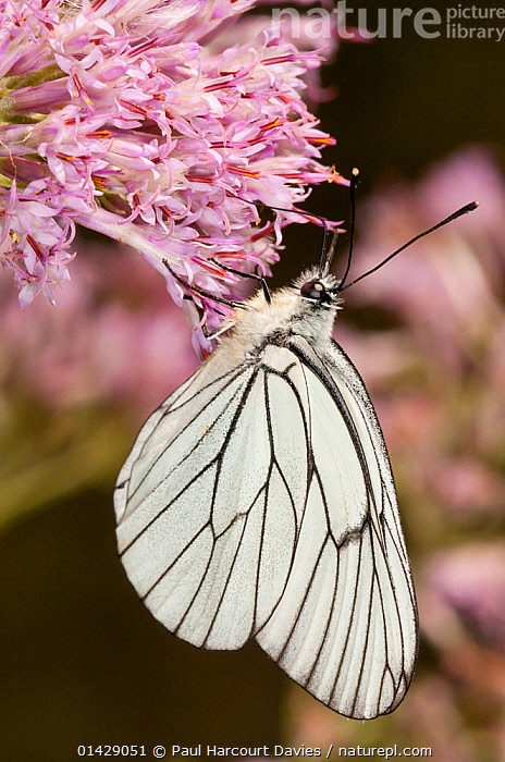 Black-veined white (Aporia crategi) feeding, Canyon on Campo Imperatore, Gran Sasso, Appennines, Abruzzo, Italy  ,  ALPINE,ARTHROPODS,BUTTERFLIES,EUROPE,FEEDING,FLOWERS,INSECTS,INVERTEBRATES,ITALY,LEPIDOPTERA,POLLINATION,VERTICAL,Apennines,Appennines,,,Dispersal,  ,  Paul Harcourt Davies