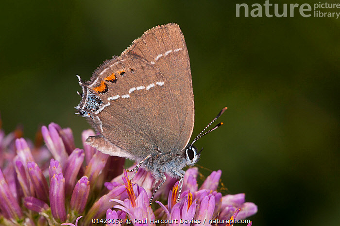 Blue-spot hairstreak butterfly (Satyrium spini) feeding, Campo Imperatore, Gran Sasso, Appennines, Abruzzo, Italy  ,  ALPINE,ARTHOPODS,BUTTERFLIES,EUROPE,FEEDING,FLOWERS,INSECTS,INVERTEBRATES,ITALY,LEPIDOPTERA,POLLINATION,Apennines,Appennines,,,Dispersal,  ,  Paul Harcourt Davies