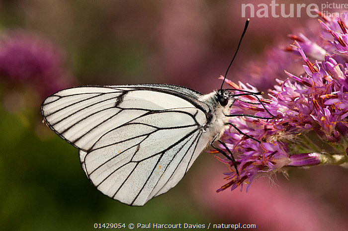 Black-veined white butterfly (Aporia crategi) feeding, Campo Imperatore, Gran Sasso, Appennines, Abruzzo, Italy  ,  ALPINE,ARTHROPODS,BUTTERFLIES,EUROPE,FEEDING,FLOWERS,INSECTS,INVERTEBRATES,ITALY,LEPIDOPTERA,POLLINATION,Apennines,Appennines,,,Dispersal,  ,  Paul Harcourt Davies