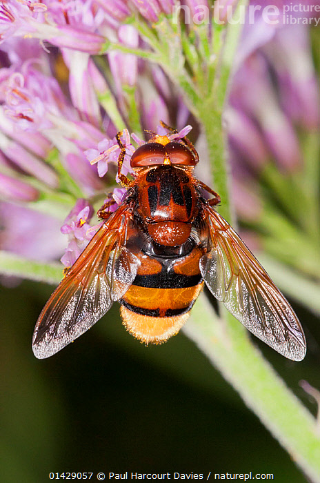 Hoverfly (Milesia crabroniformis) on flower,  Gran Sasso, Italy  ,  ALPINE,DIPTERA,EUROPE,FEEDING,FLOWERS,HOVER FLIES,INSECTS,INVERTEBRATES,ITALY,POLLINATION,VERTICAL,,Dispersal,  ,  Paul Harcourt Davies