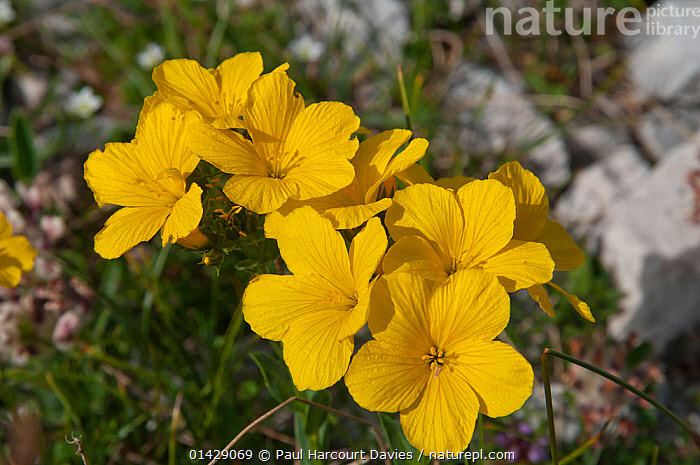 Yellow Flax (Linum capitatum) in flower, in canyon on Campo Imperatore, Gran Sasso, Appennines, Abruzzo, Italy  ,  ALPINE,DICOTYLEDONS,EUROPE,FLOWERS,ITALY,LINACEAE,PLANTS,YELLOW,Apennines,Appennines,  ,  Paul Harcourt Davies