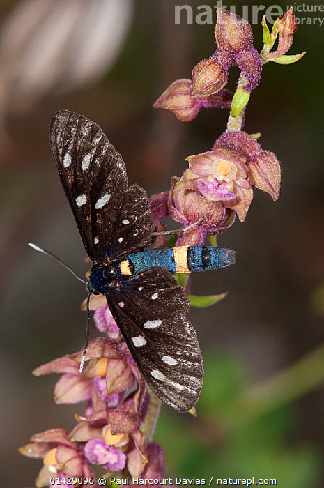 Dark red helleborine (Epipactis atrorubens) in flower, with Zygaenid moth (Syntomis phegea) Mount Terminillo, Rieti, Lazio, Italy  ,  ARTHROPODS,EUROPE,FLOWERS,INSECTS,INVERTEBRATES,ITALY,LEPIDOPTERA,MONOCOTYLEDONS,MOTHS,ORCHIDACEAE,ORCHIDS,PINK,PLANTS,PURPLE,VERTICAL  ,  Paul Harcourt Davies