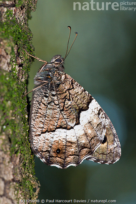 Woodland Grayling butterfly (Hipparchia fagi) on tree trunk, Mount Peglia near Orvieto. Umbria, Italy  ,  ARTHROPODS,BUTTERFLIES,EUROPE,INSECTS,INVERTEBRATES,ITALY,LEPIDOPTERA,PROFILE,VERTICAL  ,  Paul Harcourt Davies