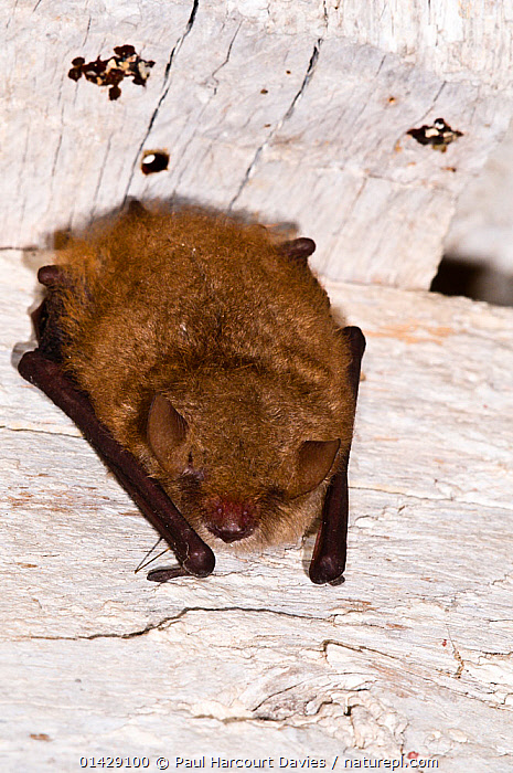 Kuhl's Pipistrelle Bat (Pipistrellus kuhli) roosting in old house near Orvieto. Italy, July  ,  BATS,CHIROPTERA,EUROPE,ITALY,MAMMALS,VERTEBRATES,VERTICAL  ,  Paul Harcourt Davies