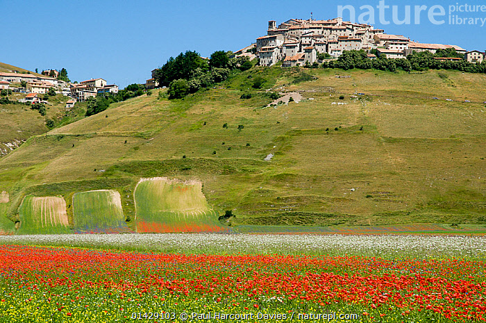 Colourful wildflowers in fields on the Piano Grande including  Poppies (Papaver rhoeas) and Mayweed (Anthemis) with Castelluccio village on a hill, Umbria, Italy, July 2010  ,  BUILDINGS,COUNTRYSIDE,DICOTYLEDONS,EUROPE,FLOWERS,ITALY,LANDSCAPES,PAPAVERACEAE,PLANTS,SUMMER,TOWNS,VILLAGES  ,  Paul Harcourt Davies