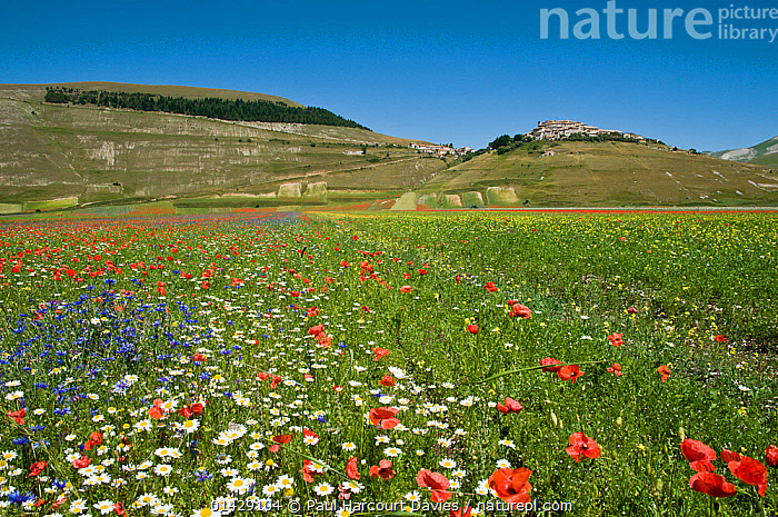 Colourful wildflowers in fields on the Piano Grande including  Poppies (Papaver rhoeas), Cornflowers (Centaurea) and Mayweed (Anthemis) Umbria, Italy, July 2010  ,  BLUE,COUNTRYSIDE,DICOTYLEDONS,EUROPE,FLOWERS,ITALY,LANDSCAPES,PAPAVERACEAE,PLANTS,RED,SUMMER,WHITE  ,  Paul Harcourt Davies