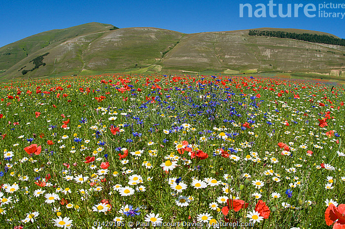 Colourful wildflowers in fields on the Piano Grande including  Poppies (Papaver rhoeas), Cornflowers (Centaurea) and Mayweed (Anthemis), Umbria, Italy, July 2010  ,  BLUE,COUNTRYSIDE,DICOTYLEDONS,EUROPE,FLOWERS,ITALY,LANDSCAPES,PAPAVERACEAE,PLANTS,RED,SUMMER,WHITE  ,  Paul Harcourt Davies