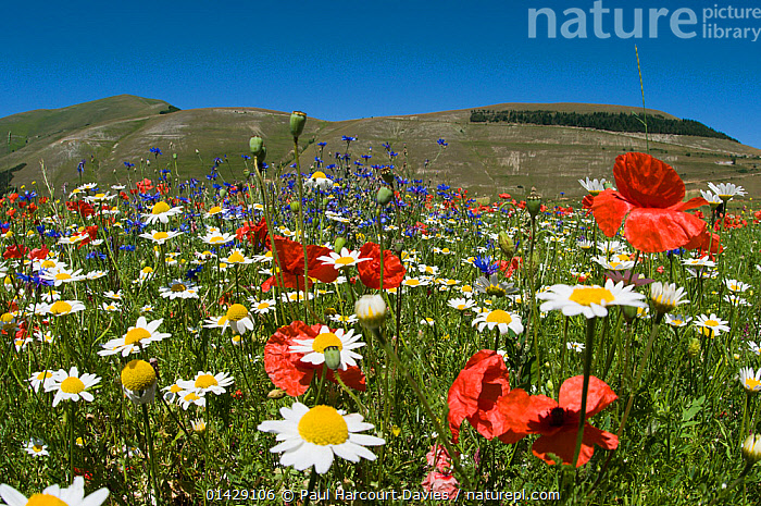 Colourful wildflowers in fields on the Piano Grande including  Poppies (Papaver rhoeas), Cornflowers (Centaurea) and Mayweed (Anthemis) Umbria, Italy, July  ,  BLUE,DICOTYLEDONS,EUROPE,FLOWERS,ITALY,PAPAVERACEAE,PLANTS,RED,WHITE  ,  Paul Harcourt Davies
