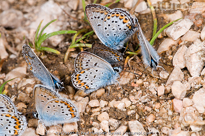 Common Blue Butterflies (Polyommatus icarus) drinking on mineral-rich seepage, Piano Grande, Italy, July  ,  ARTHROPODS,BEHAVIOUR,BUTTERFLIES,DRINKING,EUROPE,GROUPS,INSECTS,INVERTEBRATES,ITALY,LEPIDOPTERA  ,  Paul Harcourt Davies