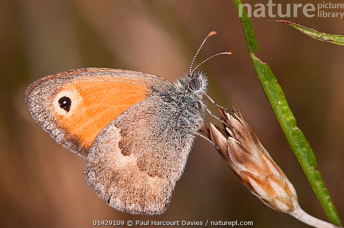 Small Heath butterfly (Coenonympha pamphilus) Podere Montecuccco, near Orvieot, Umbria, Italy, July  ,  ARTHROPODS,BUTTERFLIES,EUROPE,INSECTS,INVERTEBRATES,ITALY,LEPIDOPTERA,PROFILE  ,  Paul Harcourt Davies