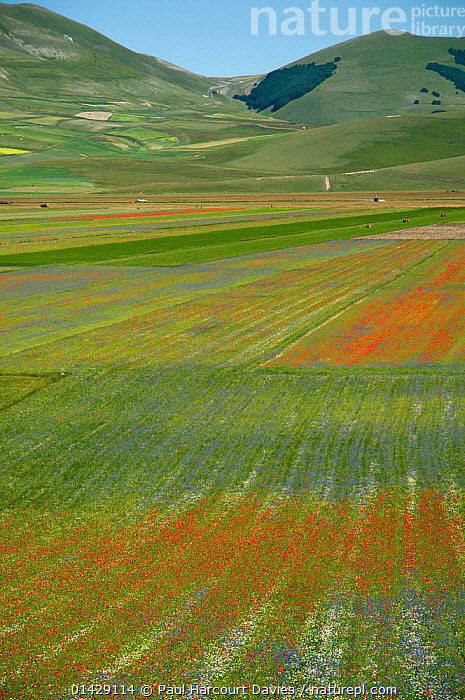 Colourful flowers in fields on the Piano Grande - Poppies (Papaver rhoeas), Cornflowers (Centaurea), Mustard (Brassica) and Mayweed (Anthemis), Umbria, Italy, July 2011  ,  ASTERACEAE,BLUE,CASTELLUCCIO,COLOURFUL,COUNTRYSIDE,DICOTYLEDONS,EUROPE,FARMLAND,FLOWERS,ITALY,LANDSCAPES,PAPAVERACEAE,PLANTS,RED,SUMMER,VERTICAL,WHITE,YELLOW  ,  Paul Harcourt Davies