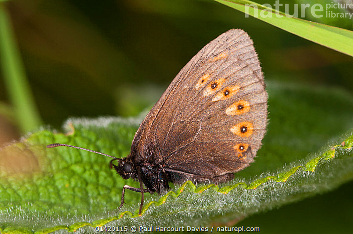 Almond-eyed Ringlet butterfly (Erebia alberganus) resting on leaf, Mount Terminillo, Rieti, Lazio, Italy, July  ,  ARTHROPODS,BUTTERFLIES,EUROPE,INSECTS,INVERTEBRATES,ITALY,LEPIDOPTERA,PROFILE  ,  Paul Harcourt Davies
