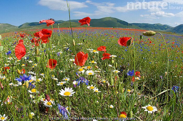 Colourful flowers in fields on the Piano Grande - Poppies (Papaver rhoeas), Cornflowers (Centaurea), Mustard (Brassica) and Mayweed (Anthemis), Umbria, Italy, July 2011  ,  BLUE,COLOURFUL,COUNTRYSIDE,DICOTYLEDONS,EUROPE,FARMLAND,FLOWERS,ITALY,LANDSCAPES,PAPAVERACEAE,PLANTS,RED,SUMMER,WHITE  ,  Paul Harcourt Davies