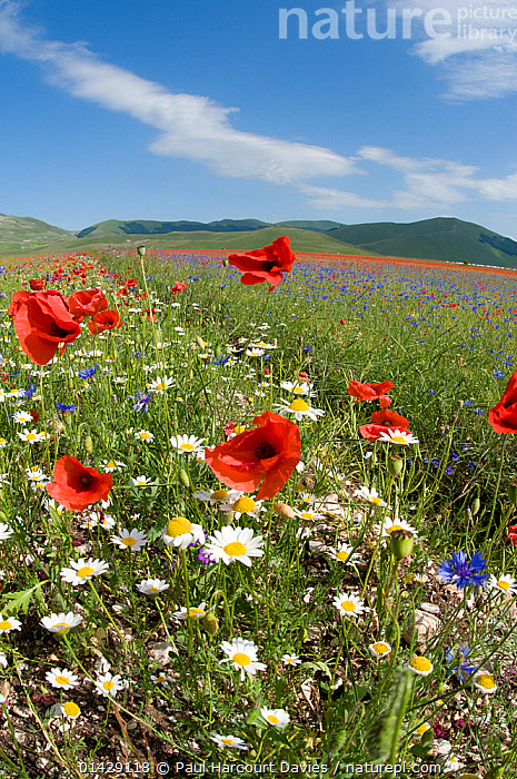 Colourful flowers in fields on the Piano Grande - Poppies (Papaver rhoeas), Cornflowers (Centaurea) and Mayweed (Anthemis), Umbria, Italy, July 2011  ,  COUNTRYSIDE,DICOTYLEDONS,EUROPE,FLOWERS,ITALY,LANDSCAPES,PAPAVERACEAE,PLANTS,RED,SUMMER,VERTICAL,WHITE  ,  Paul Harcourt Davies