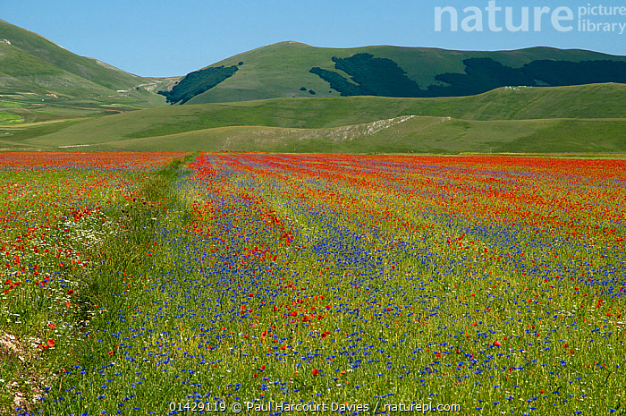 Colourful flowers in fields on the Piano Grande - Poppies (Papaver rhoeas), Cornflowers (Centaurea), Mustard (Brassica) and Mayweed (Anthemis), Umbria, Italy, July 2011  ,  BLUE,COLOURFUL,COUNTRYSIDE,DICOTYLEDONS,EUROPE,FLOWERS,ITALY,LANDSCAPES,PAPAVERACEAE,PLANTS,RED,SUMMER,WHITE,YELLOW  ,  Paul Harcourt Davies