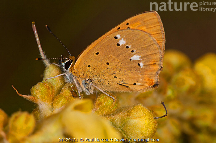Scarce copper butterfly (Lycaena virgaureae) female with wings closed, Campo Imperatore, Gran Sasso, Appennines, Abruzzo, Italy, July  ,  ALPINE,ARTHROPODS,BUTTERFLIES,EUROPE,FEMALES,INSECTS,INVERTEBRATES,ITALY,LEPIDOPTERA,PROFILE,Apennines,Appennines,  ,  Paul Harcourt Davies