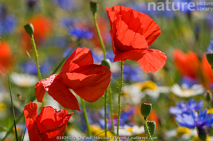 Poppies (Papaver rhoeas) and cornflowers (Centaurea) in flower Piano Grande, Umbria, Italy, July  ,  DICOTYLEDONS,EUROPE,FLOWERS,ITALY,PAPAVERACEAE,PLANTS,RED high1314,PAPAVER RHOEAS,Plant,Vascular plant,Flowering plant,Dicot,Poppy,Common poppy,Asterid,Knapweed,Plantae,Plant,Tracheophyta,Vascular plant,Magnoliopsida,Flowering plant,Angiosperm,Seed plant,Spermatophyte,Spermatophytina,Angiospermae,Ranunculales,Dicot,Dicotyledon,Ranunculanae,Papaveraceae,Fumariaceae,Papaver,Poppy,Stylomecon,Papaver rhoeas,Common poppy,Corn poppy,Field poppy,Red poppy,Asterales,Asterid,Asteranae,Asteraceae,Compositae,Centaurea,Knapweed,Star thistle,Colour,Red,Colourful,Colorful,Nobody,Vibrant Colour,Europe,Southern Europe,Italy,Close Up,Wildflower,Wildflowers,Flower,Pod,Pods,Seed Case,Seed Cases,Seedpod,Seedpods,Poppies,Sunflower Family,Cornflower,Bachelor Button,Bachelor Button Flower,Bachelor Button Flowers,Bachelor Buttons,Batchelor Button,Batchelor Button Flower,Batchelor Button Flowers,Batchelor Buttons,Cornflowers,Light,Lights,Sunlight,Outdoors,Open Air,Outside,Day,Nature,Natural,Natural World,Flowerhead,Piano Grande  ,  Paul  Harcourt Davies