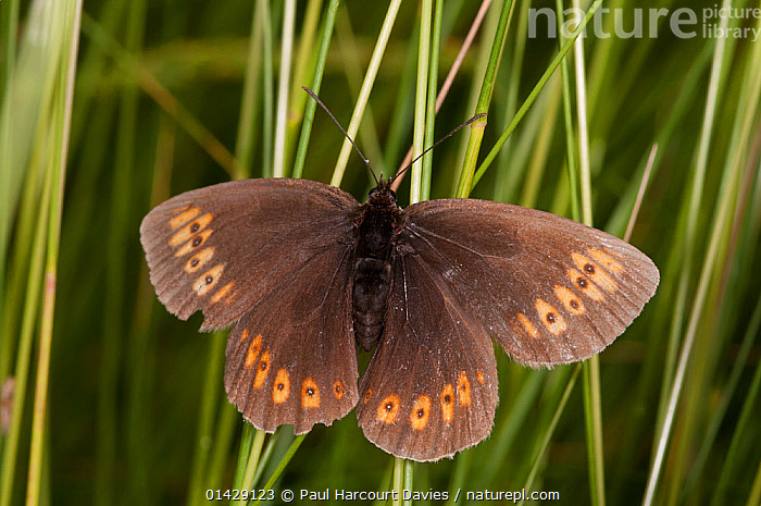 Almond-eyed Ringlet butterfly (Erebia alberganus) resting on leaf, Mount Terminillo, Rieti, Lazio, Italy, July  ,  ARTHROPODS,BUTTERFLIES,EUROPE,INSECTS,INVERTEBRATES,ITALY,LEPIDOPTERA  ,  Paul Harcourt Davies