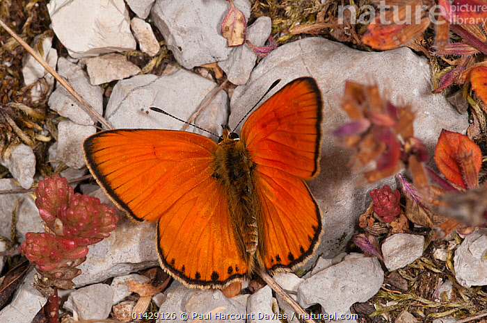 Scarce Copper butterfly (Lycaena virgaureae) male, dorsal view, Campo Imperatore, Gran Sasso, Appennines, Abruzzo, Italy, July  ,  ALPINE,ARTHROPODS,BRIGHT,BUTTERFLIES,EUROPE,INSECTS,INVERTEBRATES,ITALY,LEPIDOPTERA,MALES,ORANGE,Apennines,Appennines,  ,  Paul Harcourt Davies
