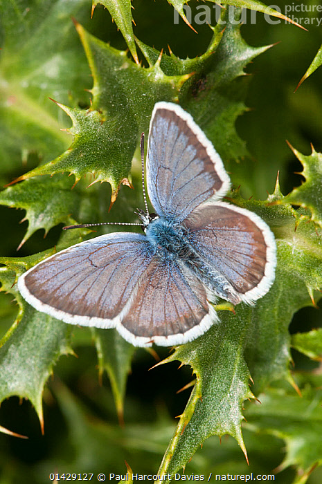 Silver-studded blue butterfly (Plebejus argus) Campo Imperatore, Gran Sasso, Appennines, Abruzzo, Italy, July  ,  ALPINE,ARTHROPODS,BUTTERFLIES,EUROPE,INSECTS,INVERTEBRATES,ITALY,LEPIDOPTERA,LYCAENIDAE,VERTICAL,Apennines,Appennines,  ,  Paul Harcourt Davies